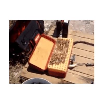 Cellules royales apicoles